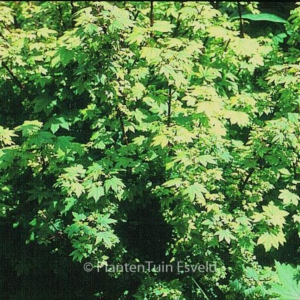 Acer circinatum 'Little Gem'
