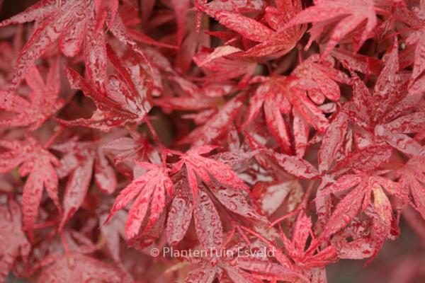 Acer palmatum 'Fireball'