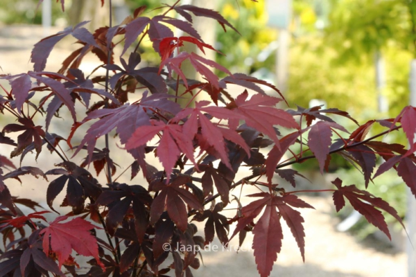 Acer palmatum 'Hess' Red Select'