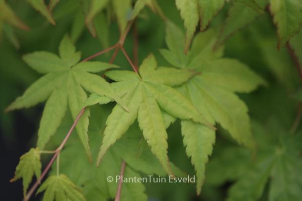 Acer palmatum 'Ibo-nishiki'
