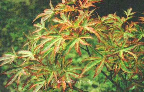 Acer palmatum 'Itami-nishiki'