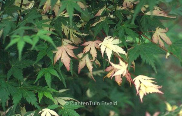Acer palmatum 'Mai-mori'