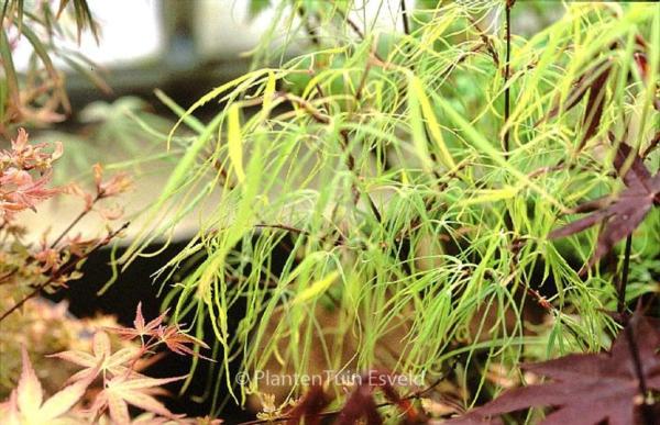Acer palmatum 'Mugiwara-nishiki'