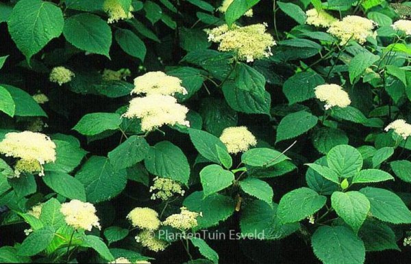 Hydrangea arborescens 'Hill of Snow'