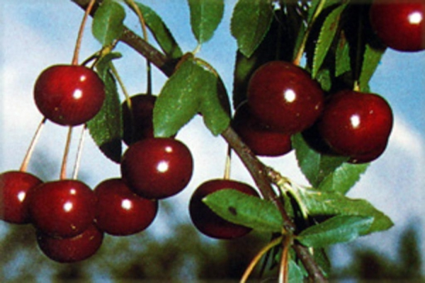 Prunus cerasus 'Morina'