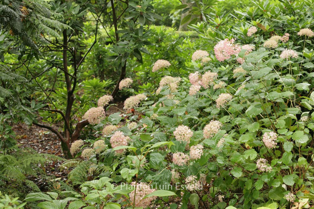 Hydrangea arborescens 'NCHA2' (PINK ANNABELLE)