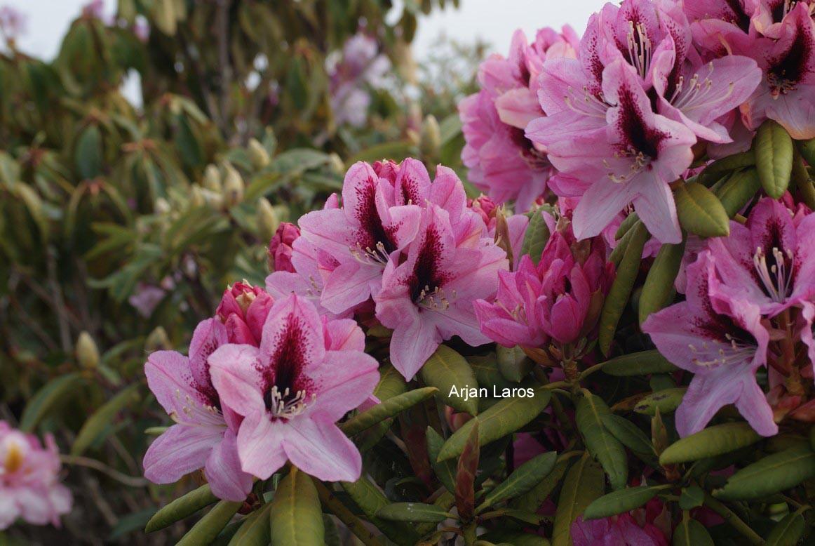 Rhododendron 'Edeltraut'