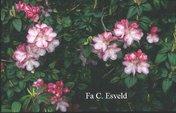 Rhododendron 'Stadt Essen'