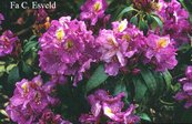 Rhododendron 'Windsor Lad'