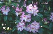 Rhododendron 'Gabriele Liebig'