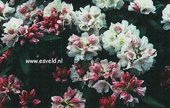 Rhododendron 'Bashful'