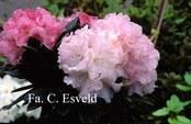 Rhododendron 'Tina Heinje'