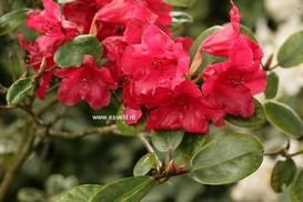 Rhododendron 'Tromba'