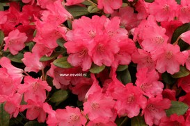 Rhododendron 'Lampion'