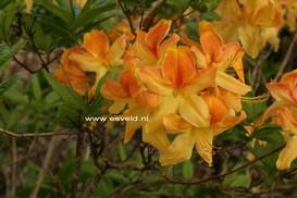 Azalea 'Golden Flare'