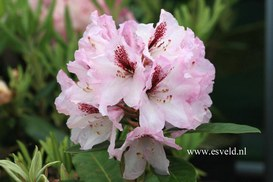 Rhododendron 'Herbstfreude'