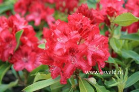 Rhododendron 'Doncaster'