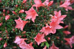 Rhododendron 'Late Love'