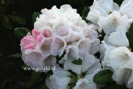 Rhododendron 'Harmonie'