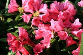 Rhododendron 'Nathalie'