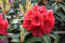 Rhododendron 'Eggert Rohwer'