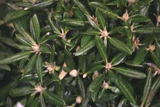 Rhododendron 'Karminkissen'