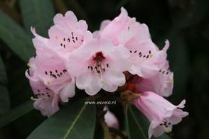 Rhododendron uvariifolium