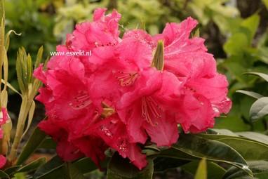 Rhododendron 'C.B. van Nes'
