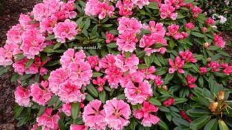 Rhododendron 'Vintage Rose'