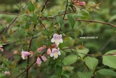 Abelia parviflora