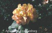 Rhododendron 'Belkanto'