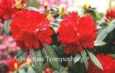 Rhododendron 'Bibiani'
