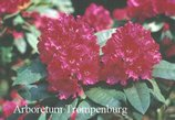 Rhododendron 'Dr. V.H. Rutgers'