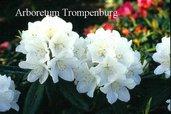 Rhododendron 'Helene Schiffner'