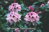 Rhododendron 'Lady Strangford'