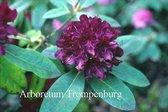 Rhododendron 'Nigrescens'
