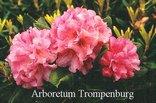 Rhododendron 'Wiero'