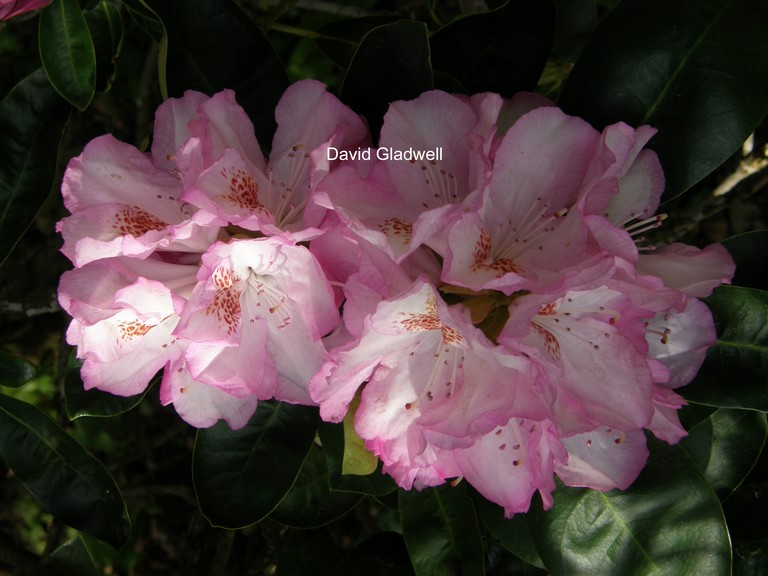 Rhododendron 'Duchess of Teck'