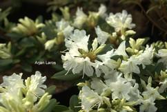 Rhododendron keiskei ozawae