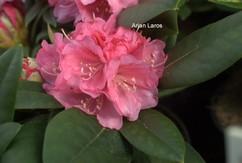 Rhododendron 'Bad Sassendorf'