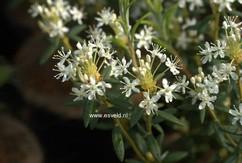 Rhododendron glandulosum