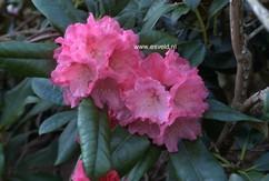 Rhododendron 'Belona'