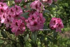 Rhododendron 'Diadem'