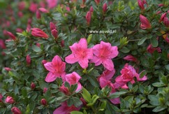 Rhododendron nakaharae 'Wombat'