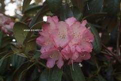 Rhododendron 'Daniela'