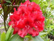 Rhododendron 'Erato'