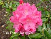 Rhododendron 'Turandot'