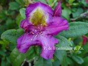 Rhododendron 'Tamarindos'
