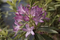 Rhododendron 'Fragrans'