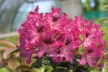 Rhododendron 'John Waterer'